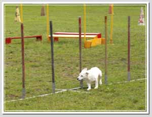 Agility Russell Terrier
