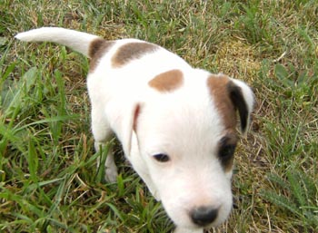 puppy  Parson Russell Terrier