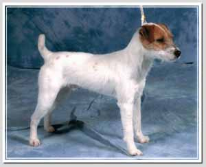 Expos Russell Terrier